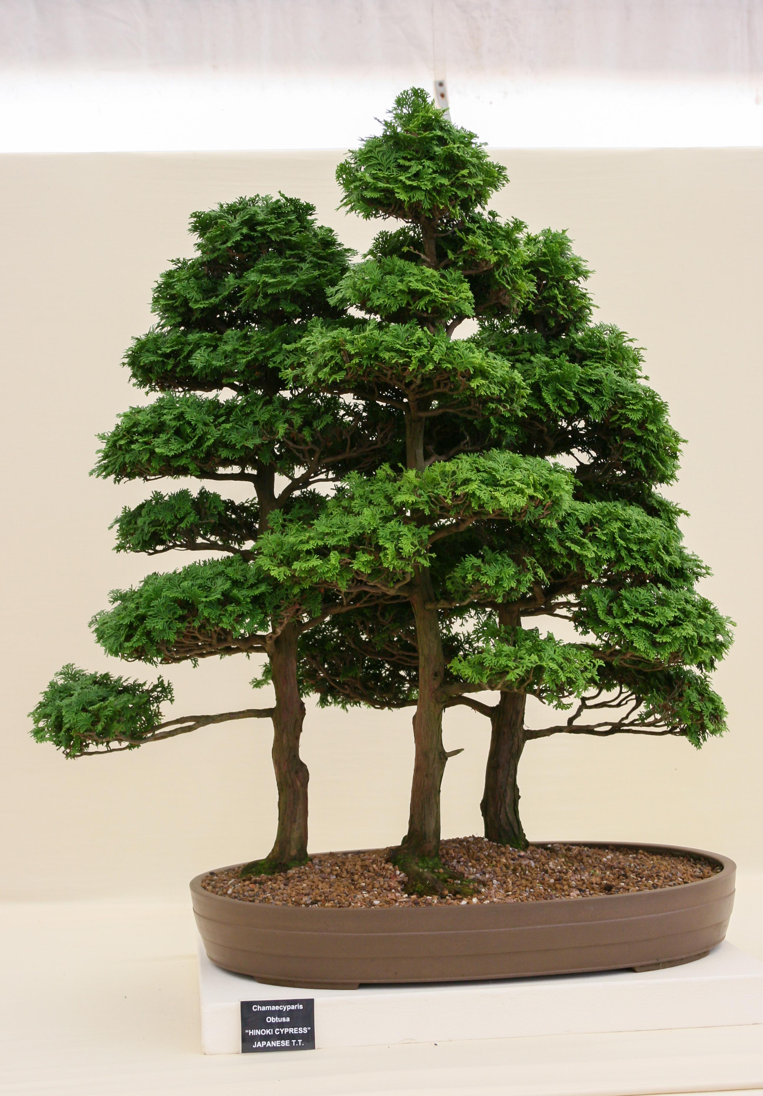 Pinus contorta  Wikipedia