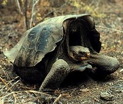 Volcán Wolf giant tortoise species of reptile