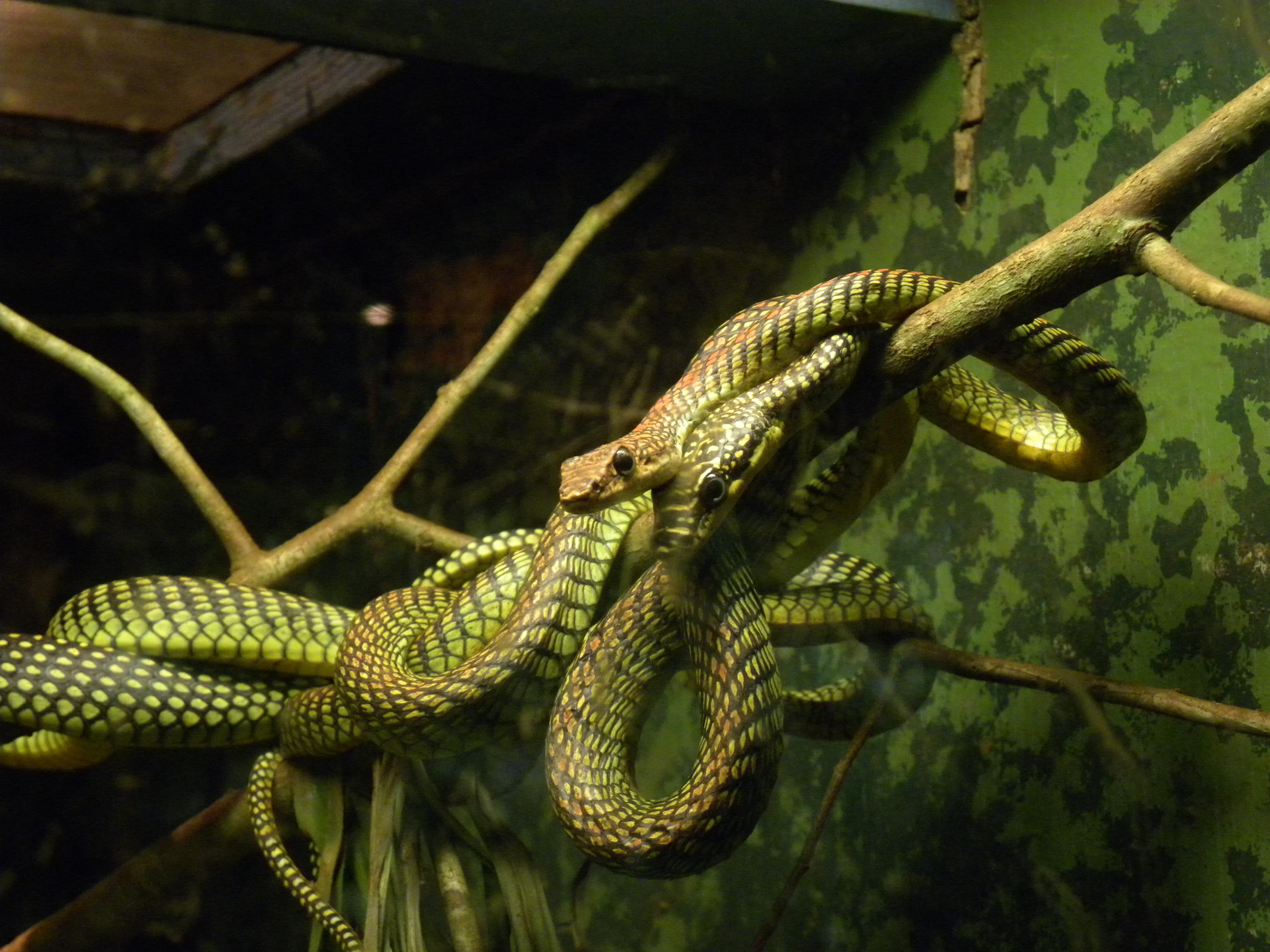 Chrysopelea Paradisi Wikipedia