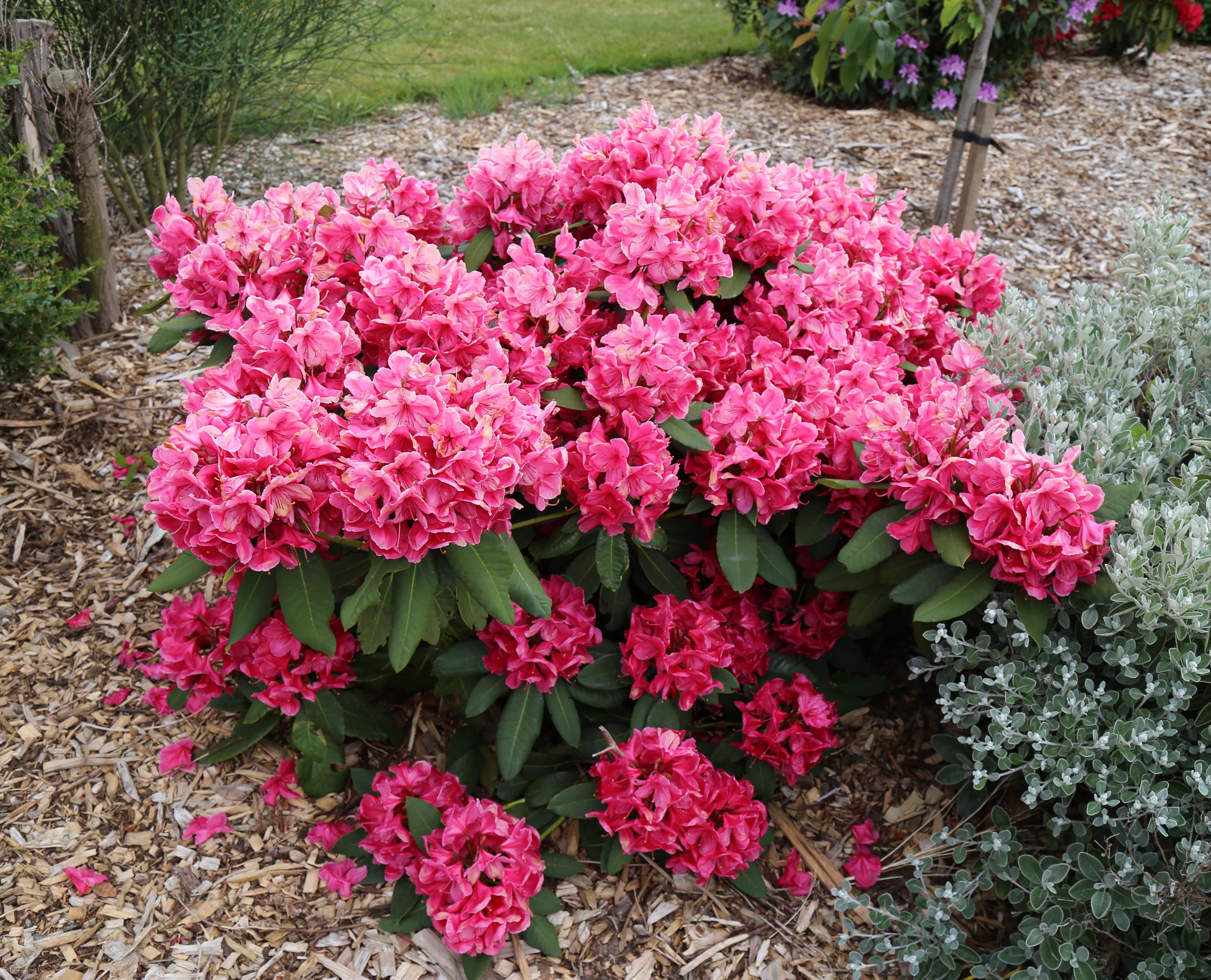 Filecity of london cemetery flowering shrubs 14g wikimedia filecity of london cemetery flowering shrubs 14g izmirmasajfo