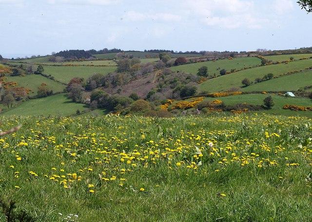 Dandelions near Doccombe Cross - geograph.org.uk - 1292838