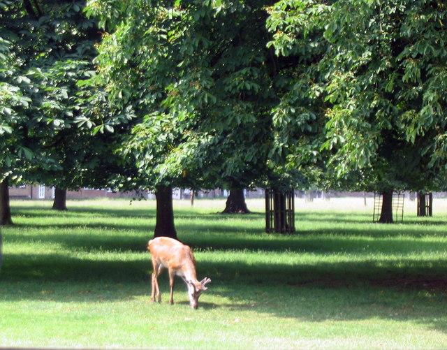 Deer in Bushy Park - geograph.org.uk - 469072