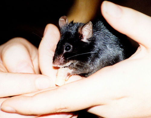 File:Fancy Mouse.jpg