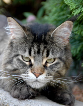 File:Female maine coon.png