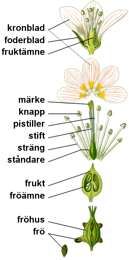 File:Flower anatomy.png - Wikimedia Commons