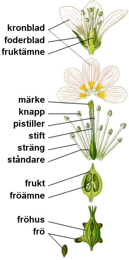 Bildresultat för blommans beståndsdelar