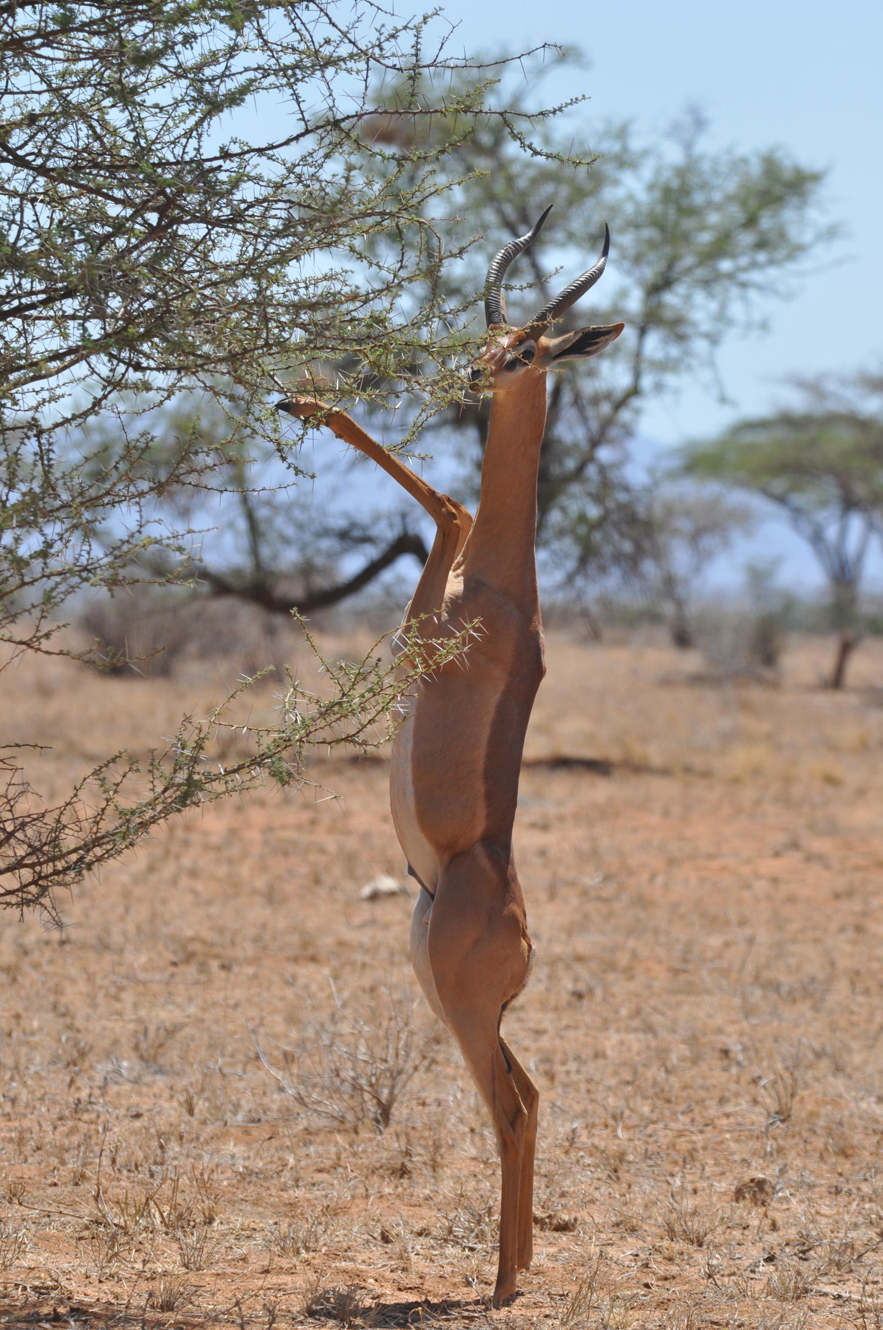 filegerenuk eating samburu kenya 2014jpg