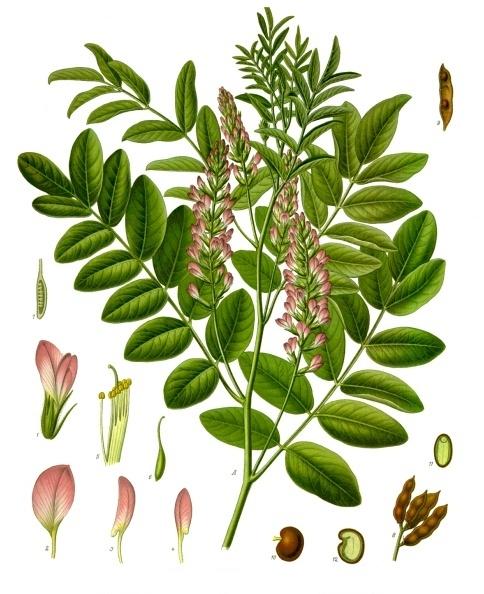 File:Glycyrrhiza glabra - Köhler–s Medizinal-Pflanzen-207.jpg