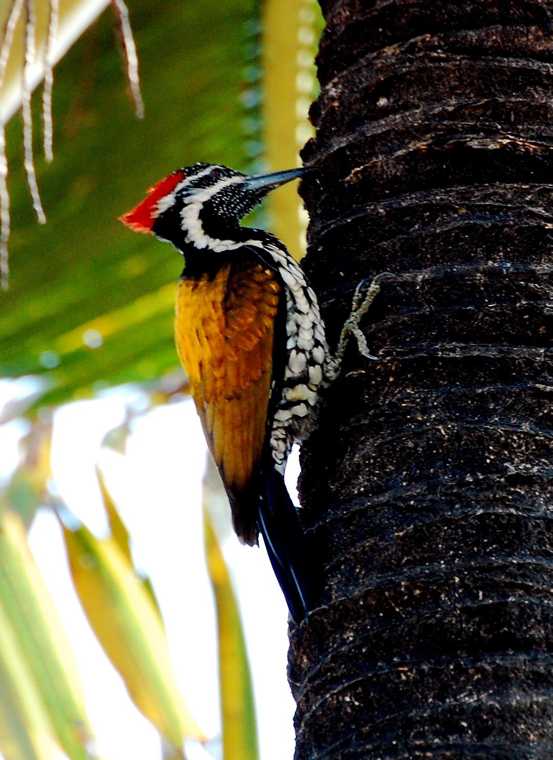 file goldenbacked woodpecker     wikimedia commons