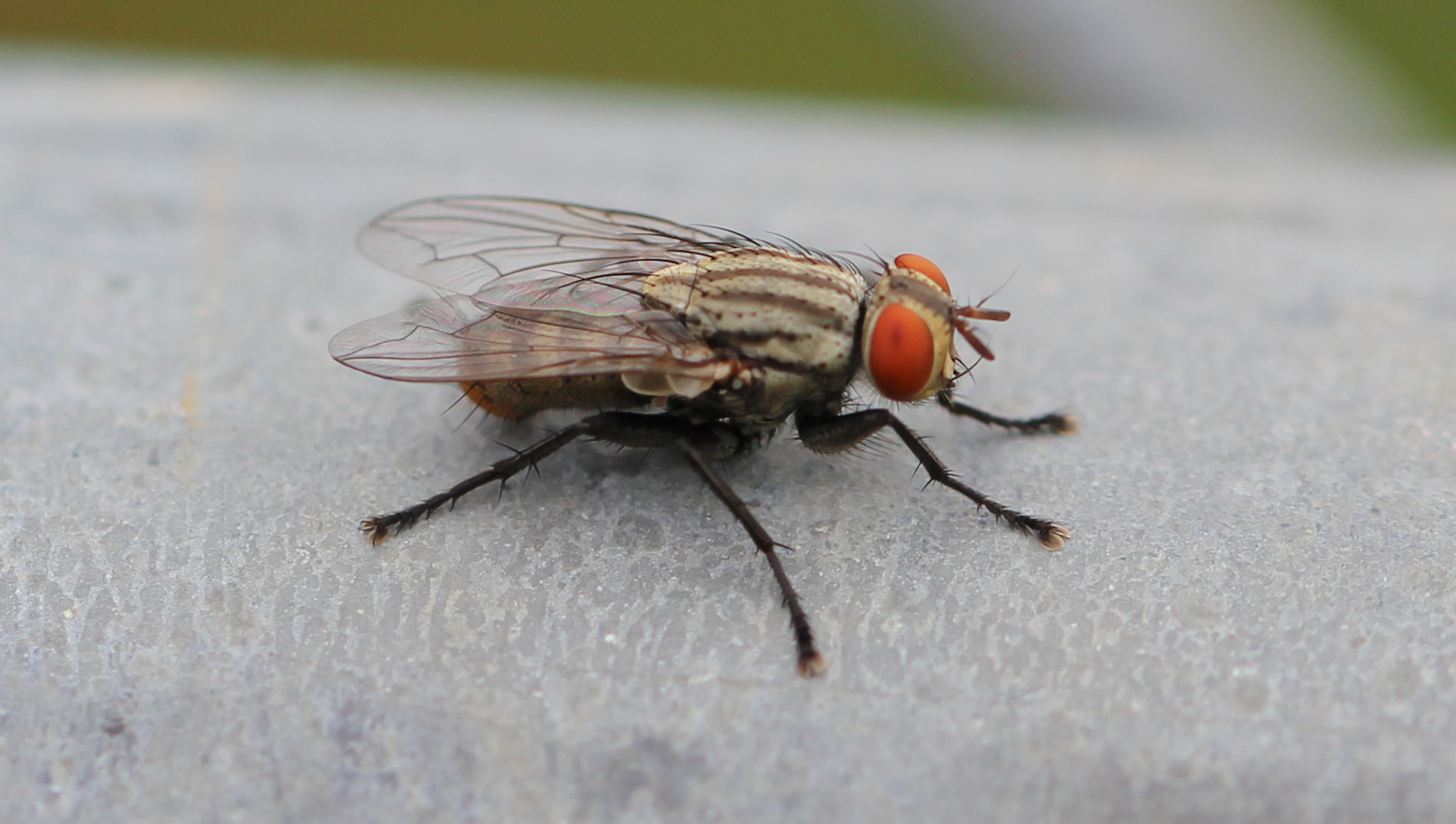 File:House Fly.jpg