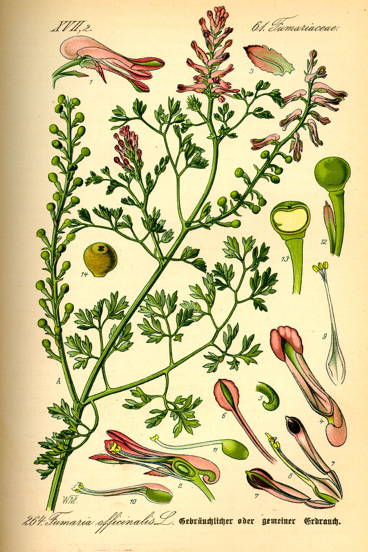Illustration Fumaria officinalis0.jpg