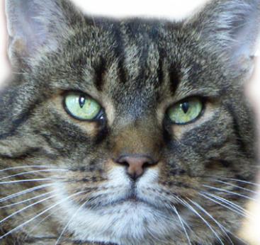 Datei:Katze Simon a.jpg
