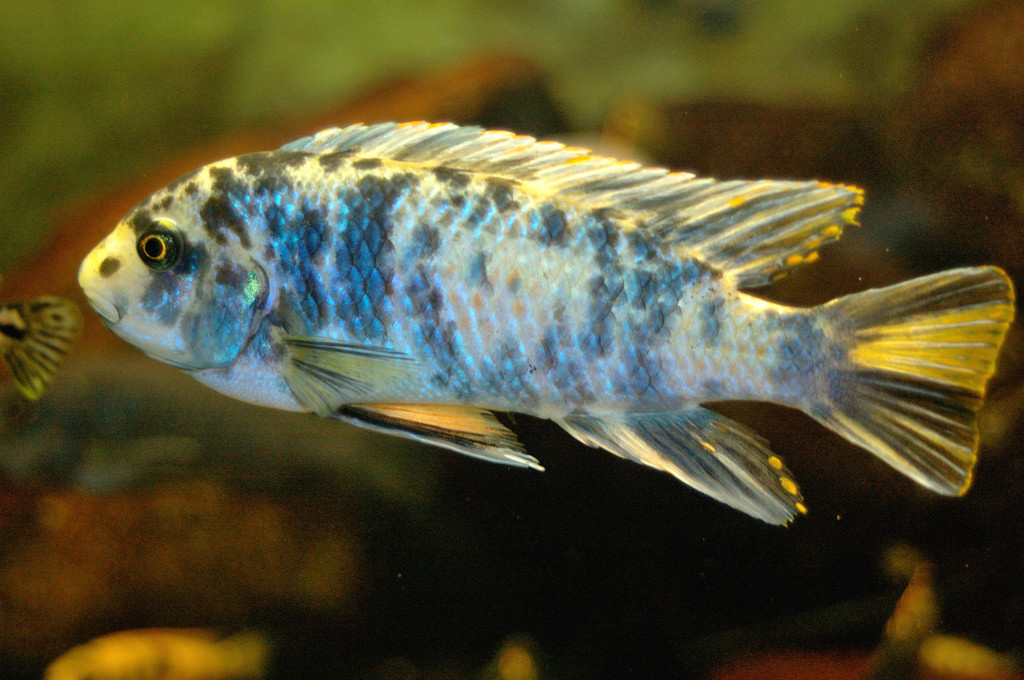File:Labeotropheus fuelleborni 02.jpg - Wikimedia Commons