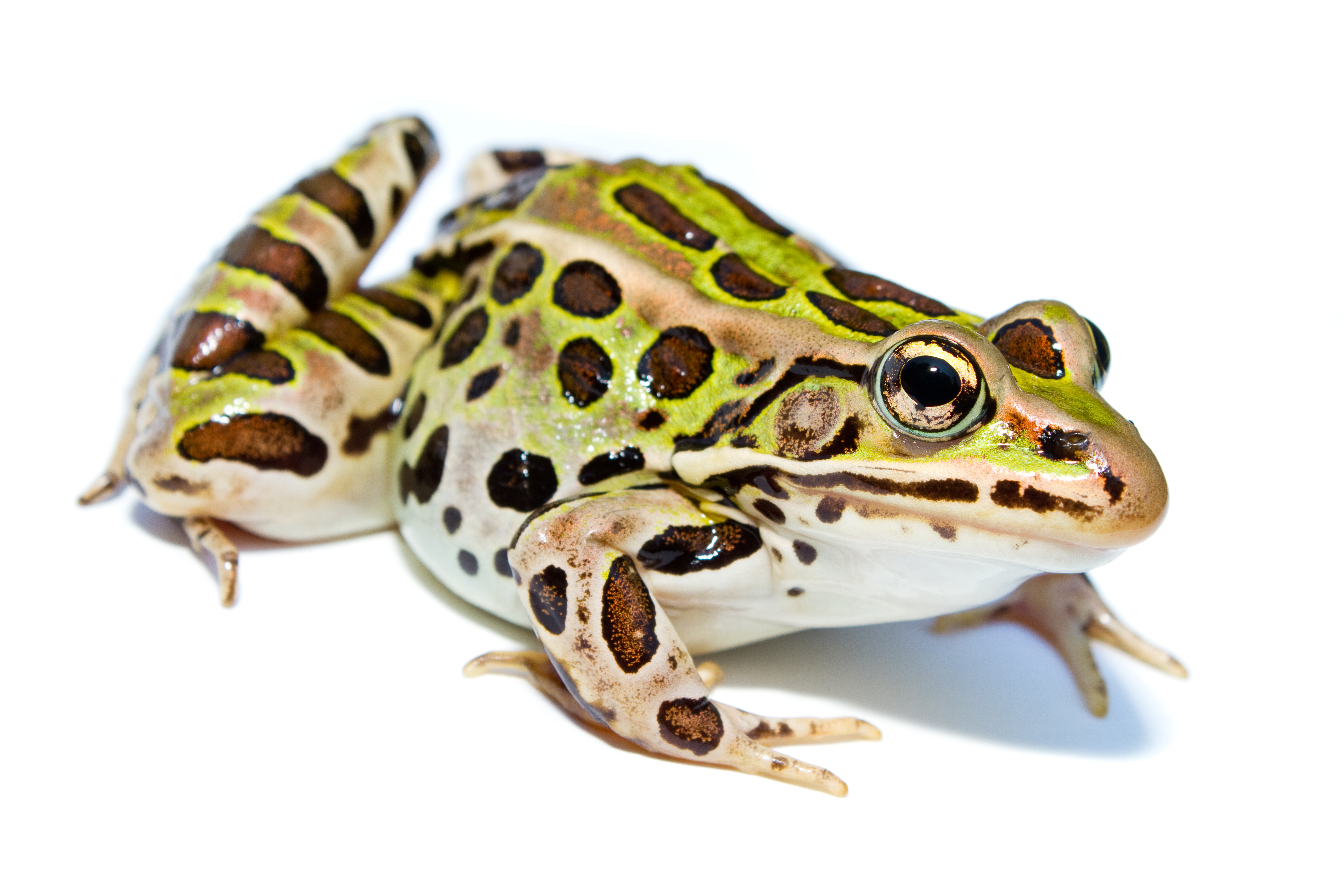 Northern leopard frog, a green frog with dark brown spots.