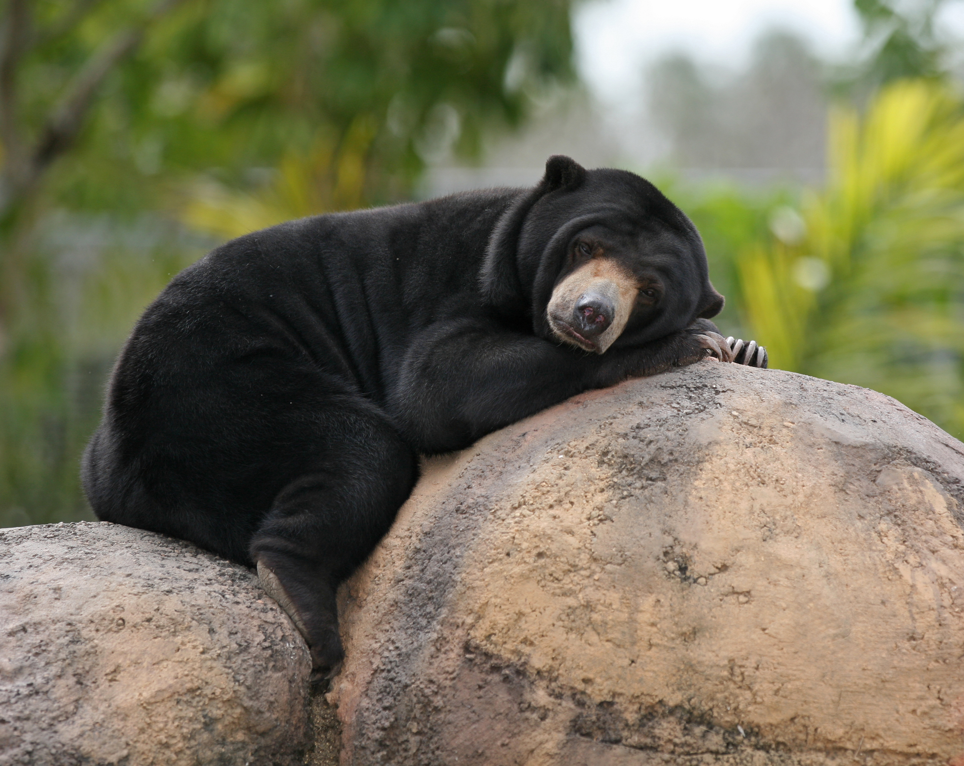 File:Malaysian Sun Bear.jpg - Wikimedia Commons
