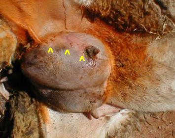 Gangrenózní mastitida bahnice s označením přechodu zdravé a odumřelé tkáně