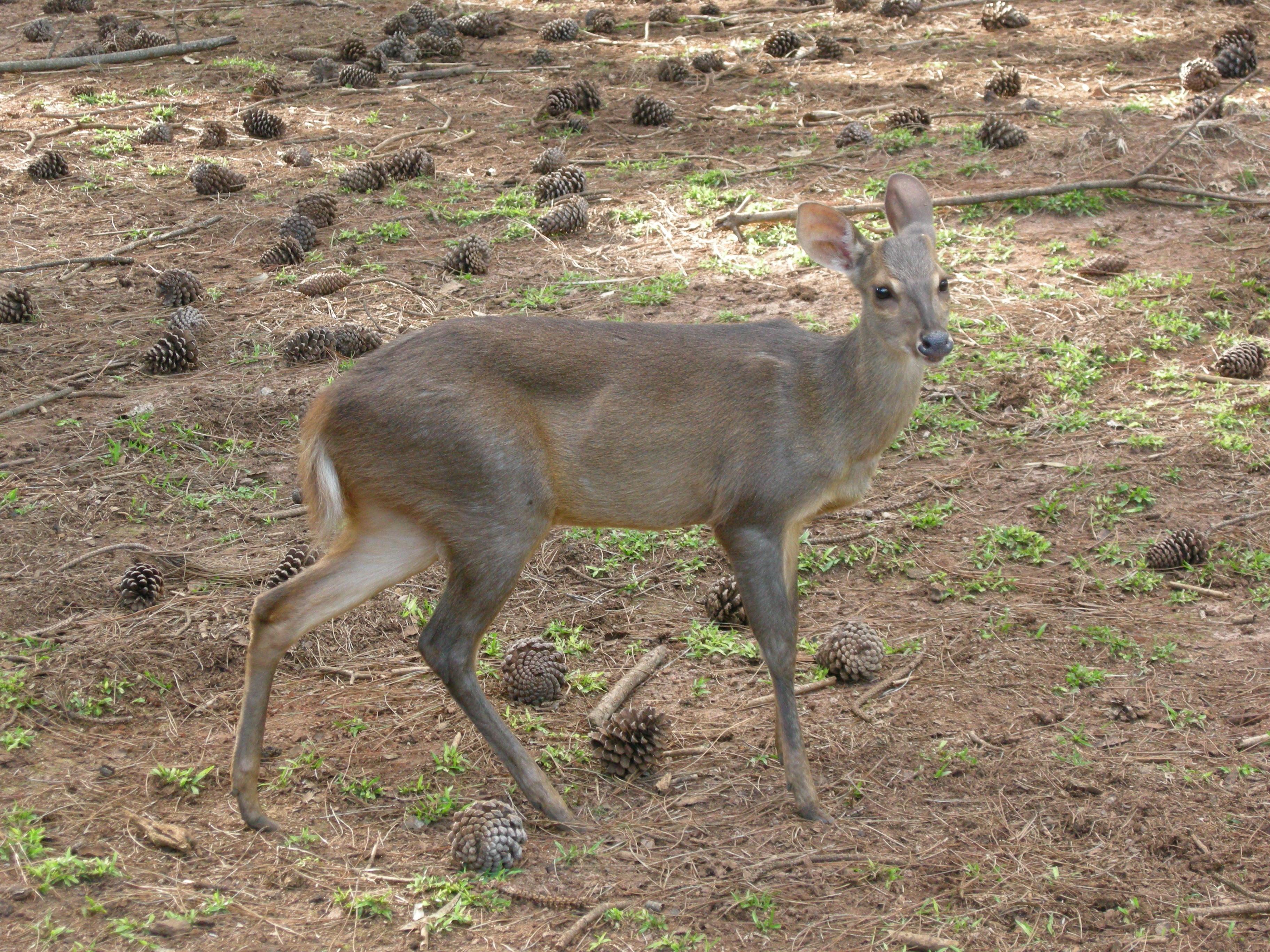 Grey Brocket Deer