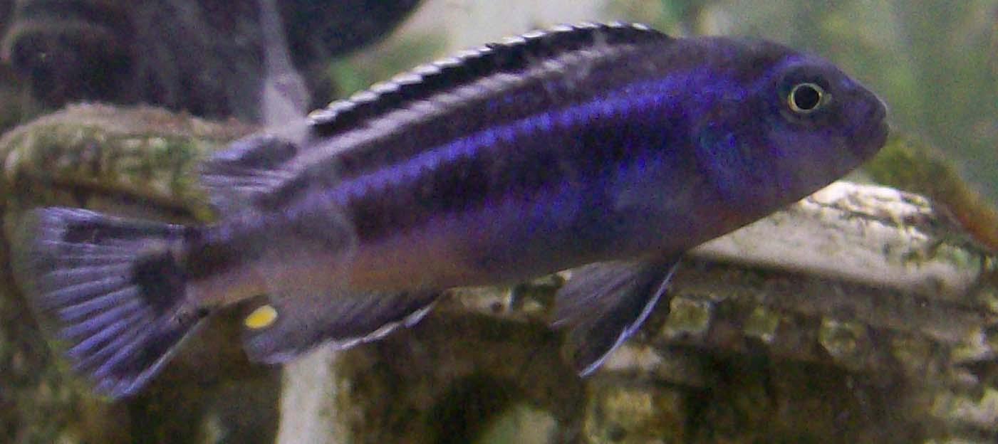 melanochromis johanni male.jpg