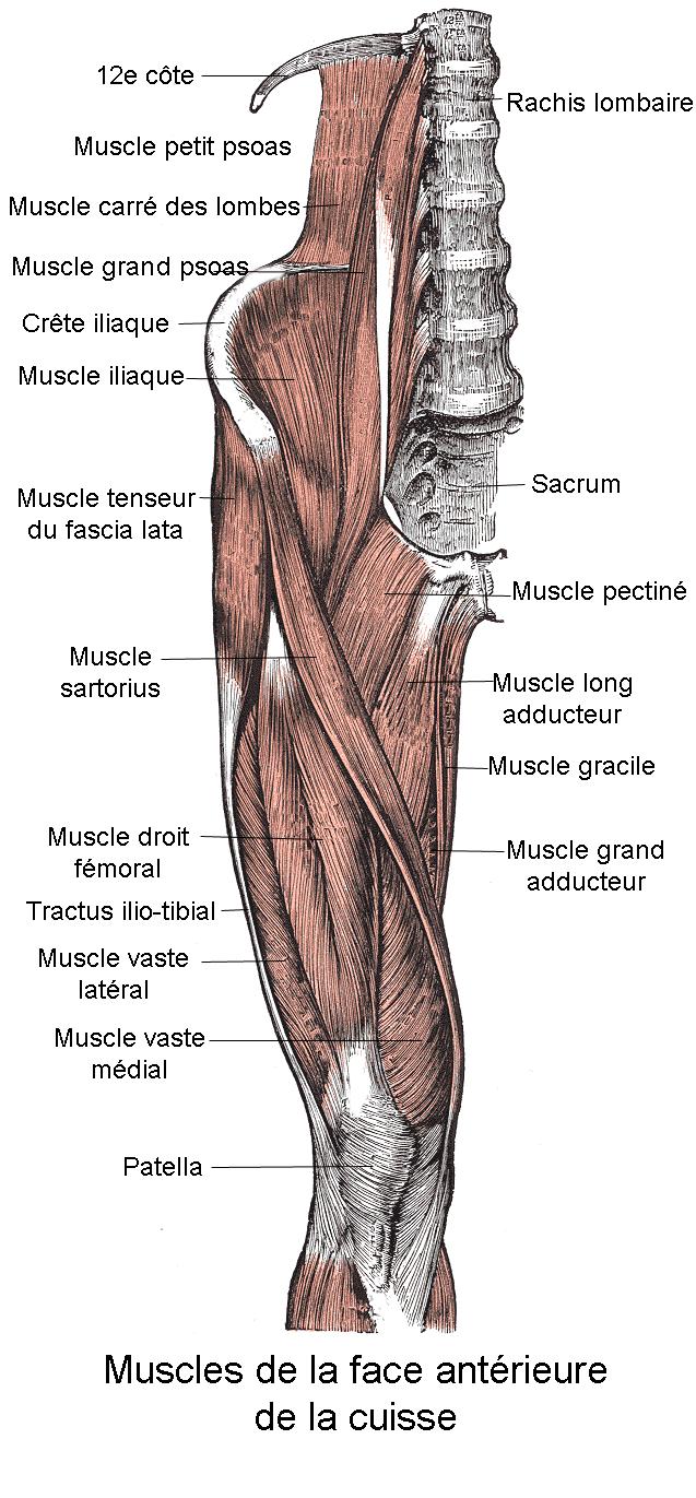 File:Muscles de la face antérieure de la cuisse.png - Wikimedia Commons