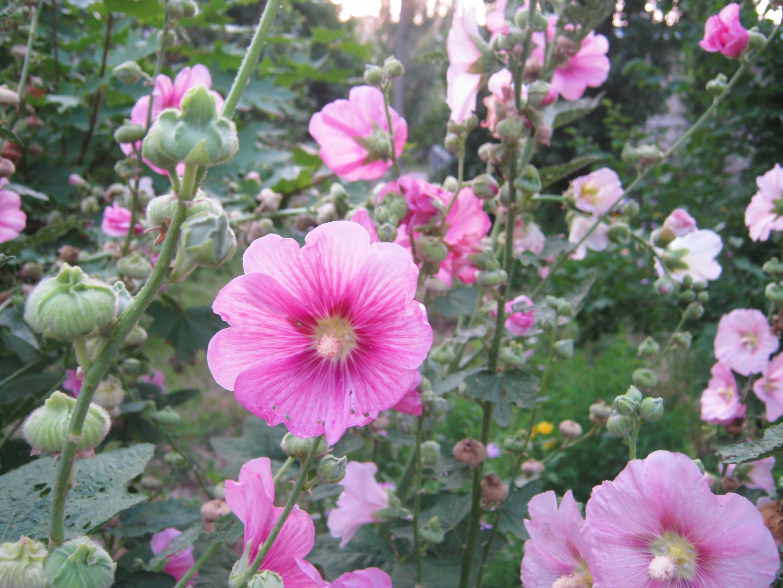 Filenice Pink Flowersg Wikimedia Commons