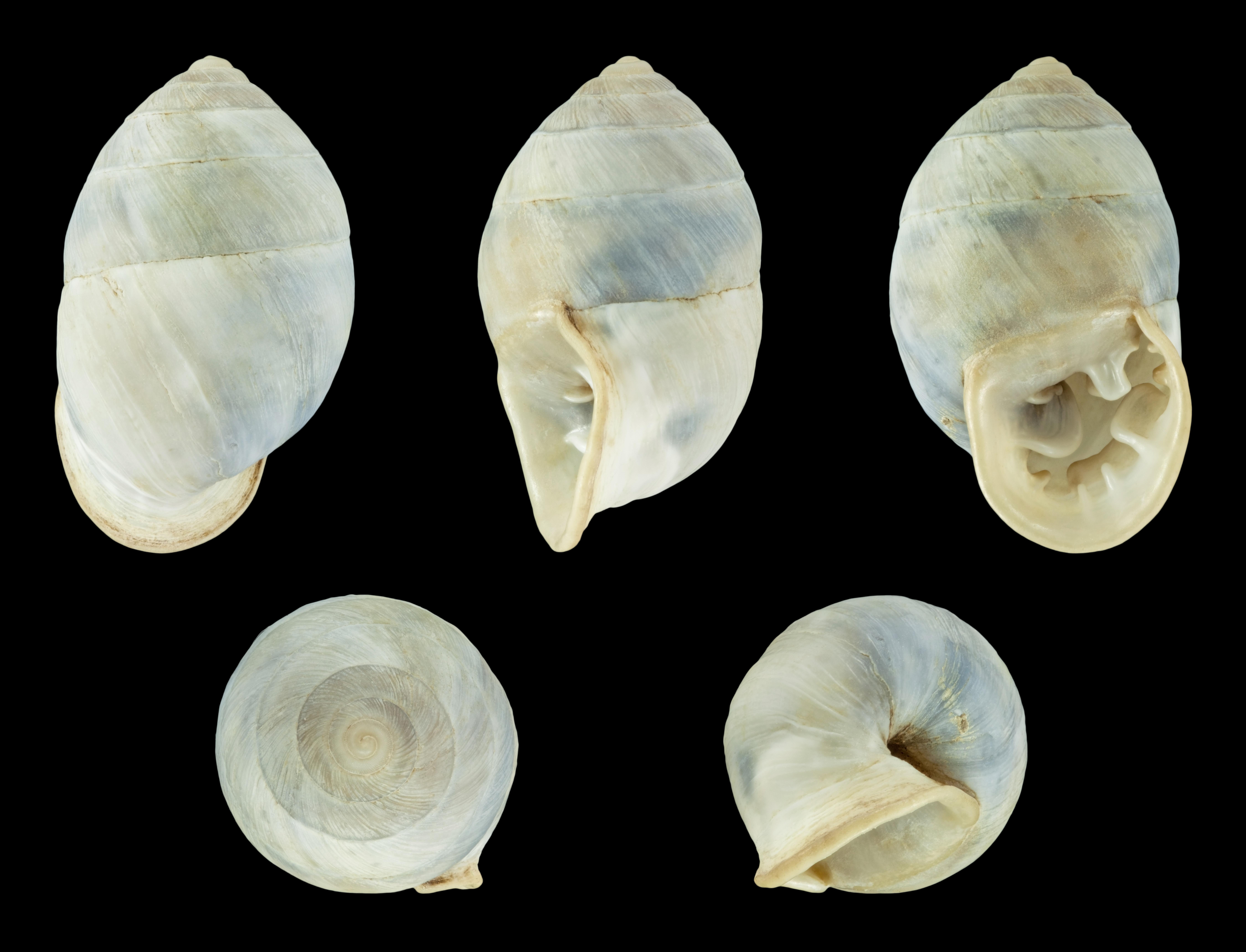 FilePlagiodontes daedaleus f. minor 20.JPG   Wikimedia Commons