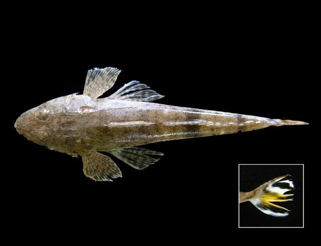 File:Platycephalus indicus Thailand 1.jpg