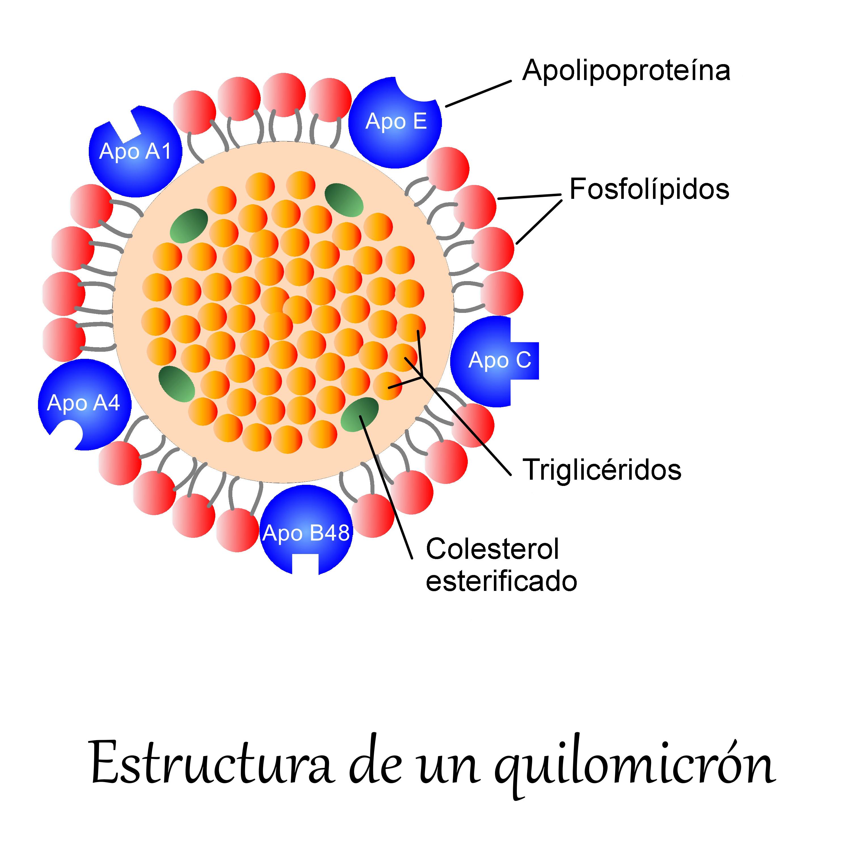 Quilomicrón Wikipedia La Enciclopedia Libre