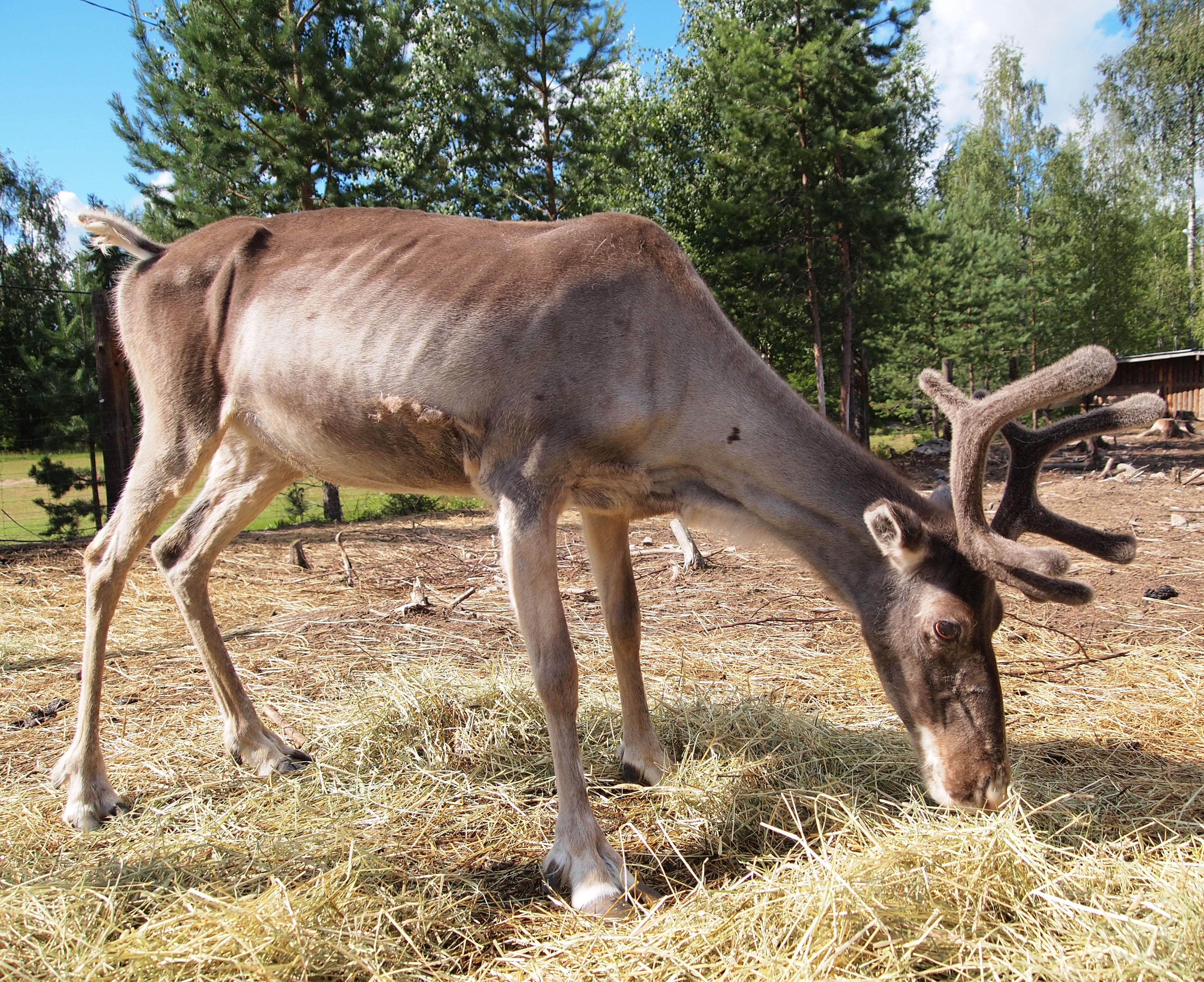 file reindeer in ysitien lemmikki jpg wikimedia commons