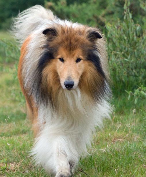 Owczarek szkocki długowłosy / Collie, Rough - Dog Scanner