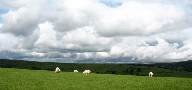 Sheep pasture, Ladies Riggs - geograph.org.uk - 956630