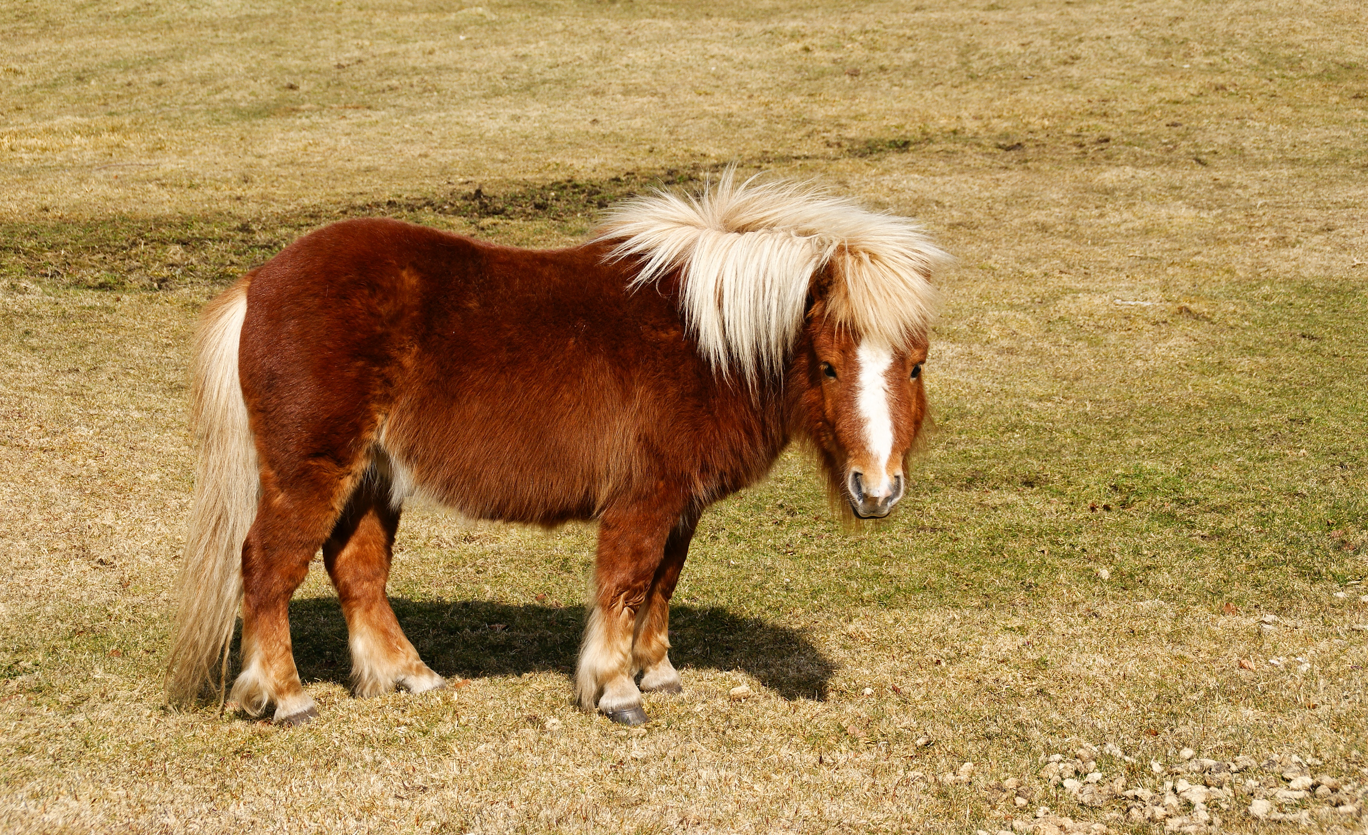 poney g