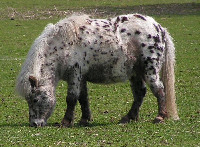 Shetlandi poni Shetland_pony_dalmatian2
