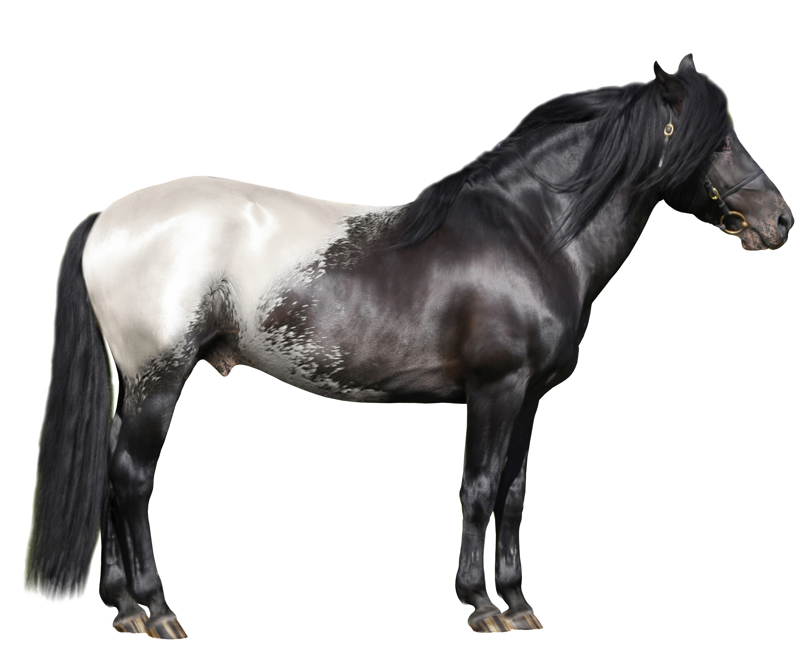 File Snowcap Appaloosa Jpg Wikimedia Commons