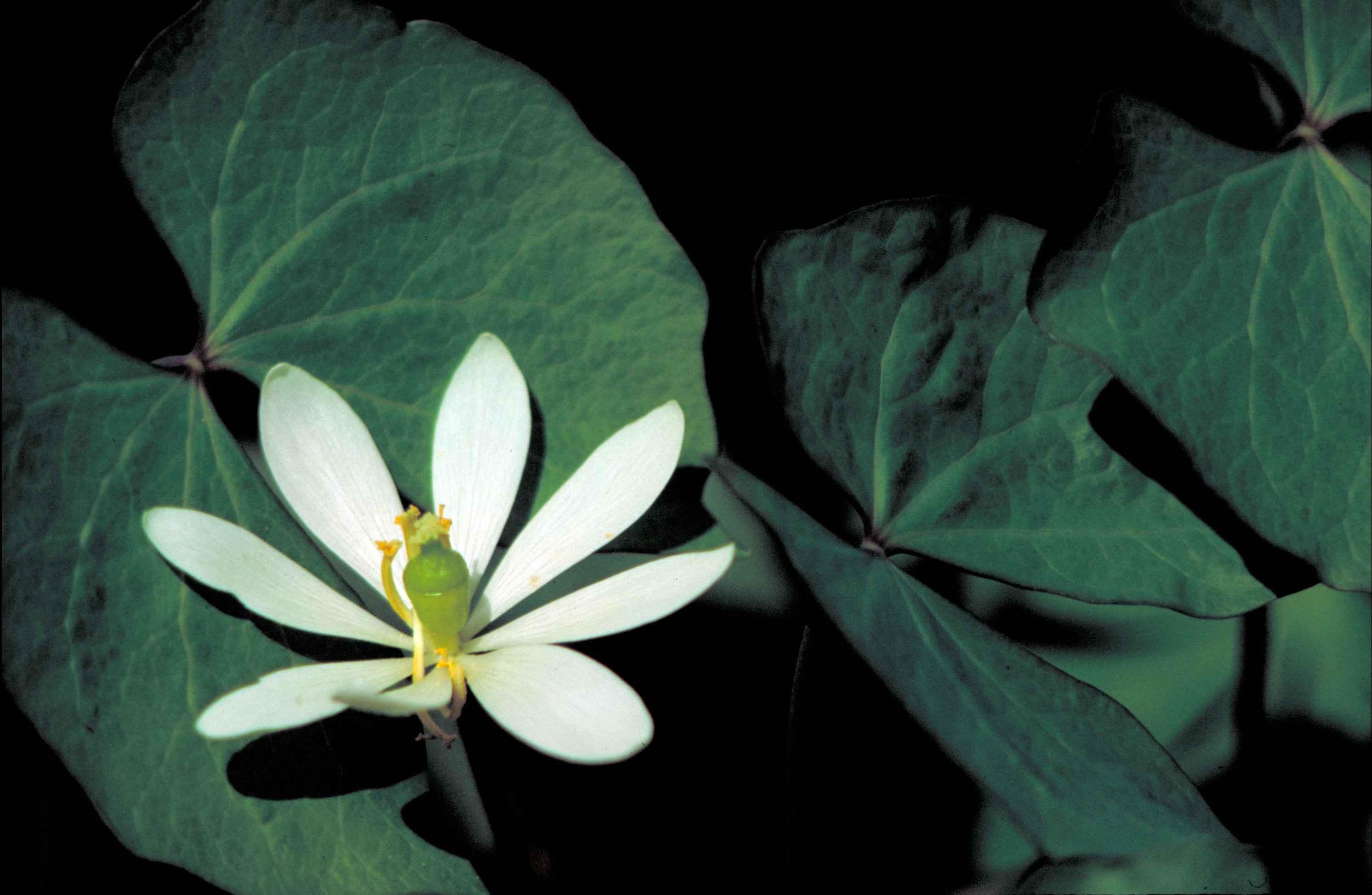 Fichiertwinleaf Plant With White Flower Cassia Bauhinioidesg