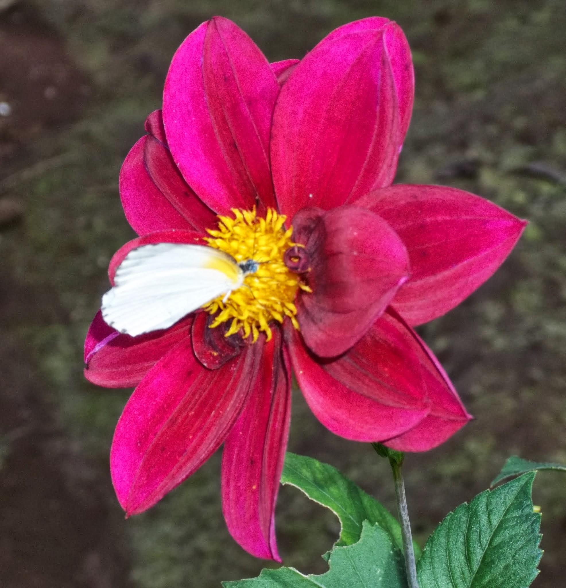 file:un papillon sur une fleur - wikimedia commons
