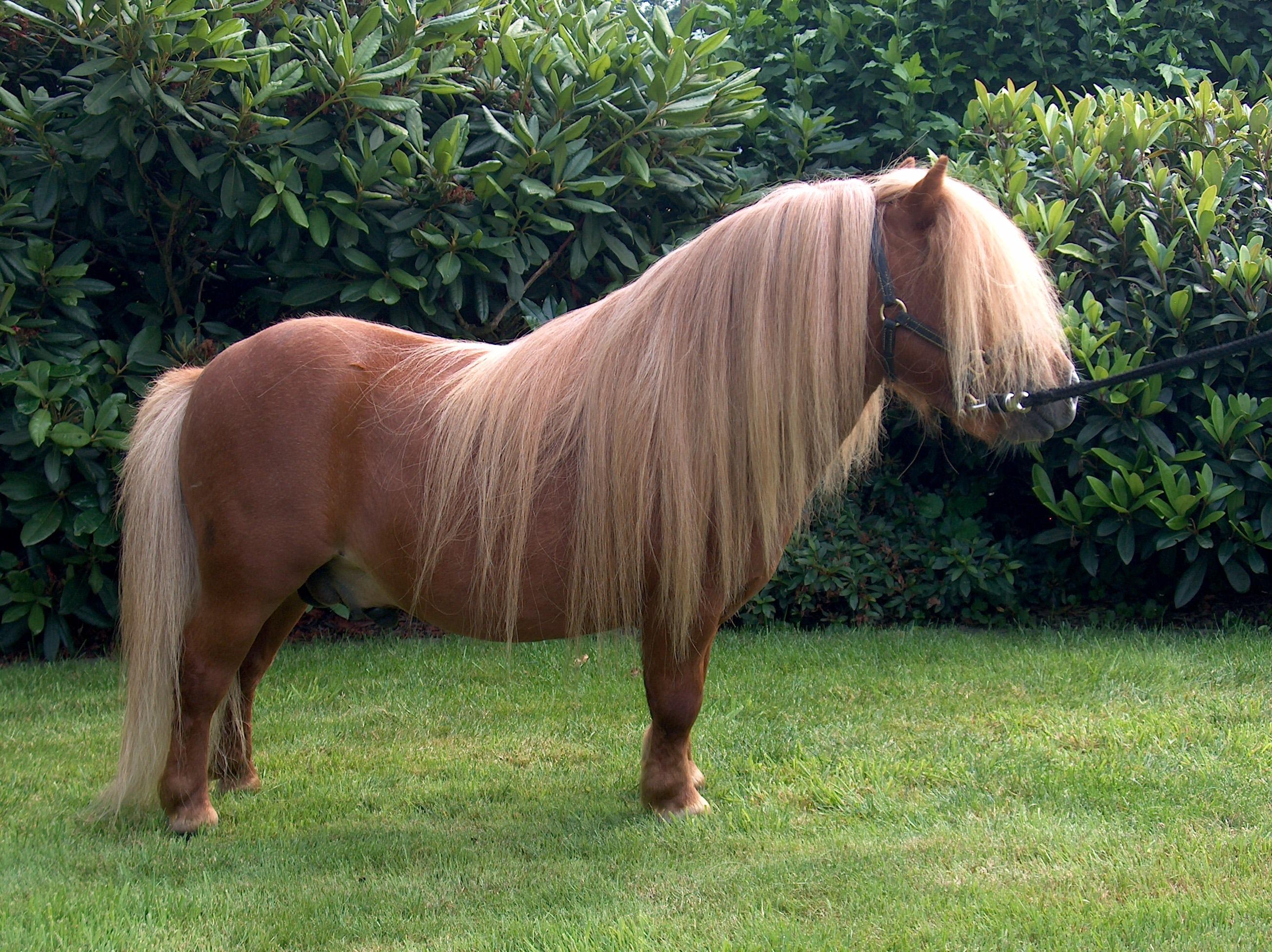 Pony Pferd Wikipedia