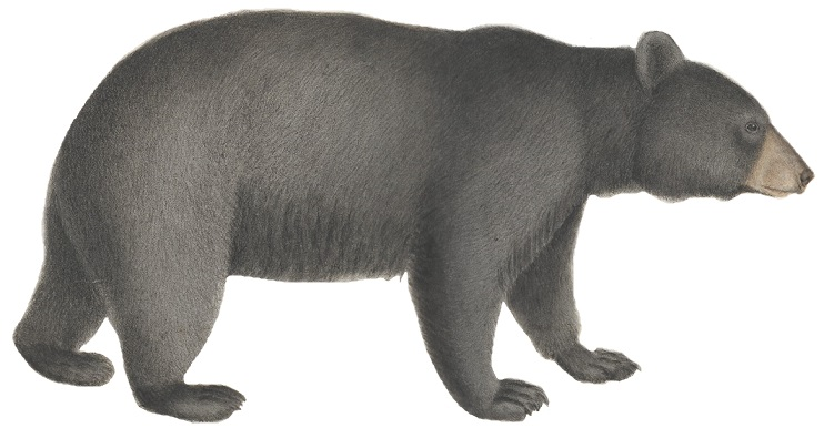 Ursus americanus - 1700-1880 - Print - Iconographia Zoologica - Special Collections University of Amsterdam - (white background).jpg