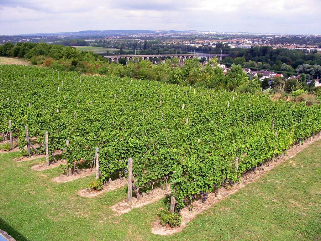 Fichier vigne st germain en wikip dia - Parasite de la vigne ...