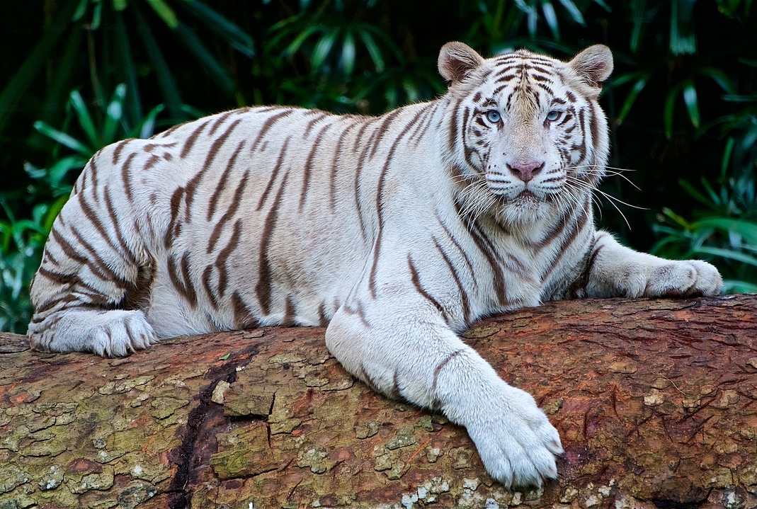 pretty nice 1b96b aec0b White tiger - Wikipedia