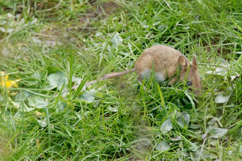 File:Wood Mouse (Apodemus sylvaticus), Baltasound - geograph.org.uk - 1822318.jpg