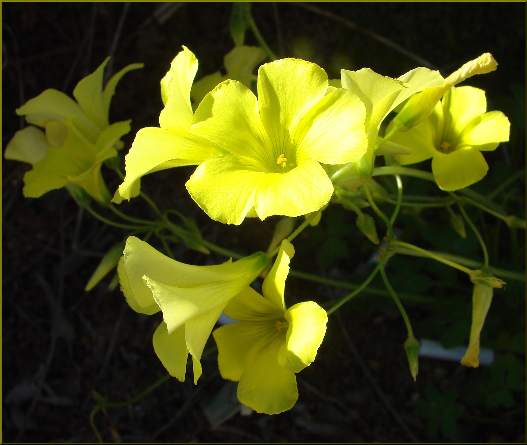 Fileyellow Clover Flower Home 3 10 13 8551524593g Wikimedia