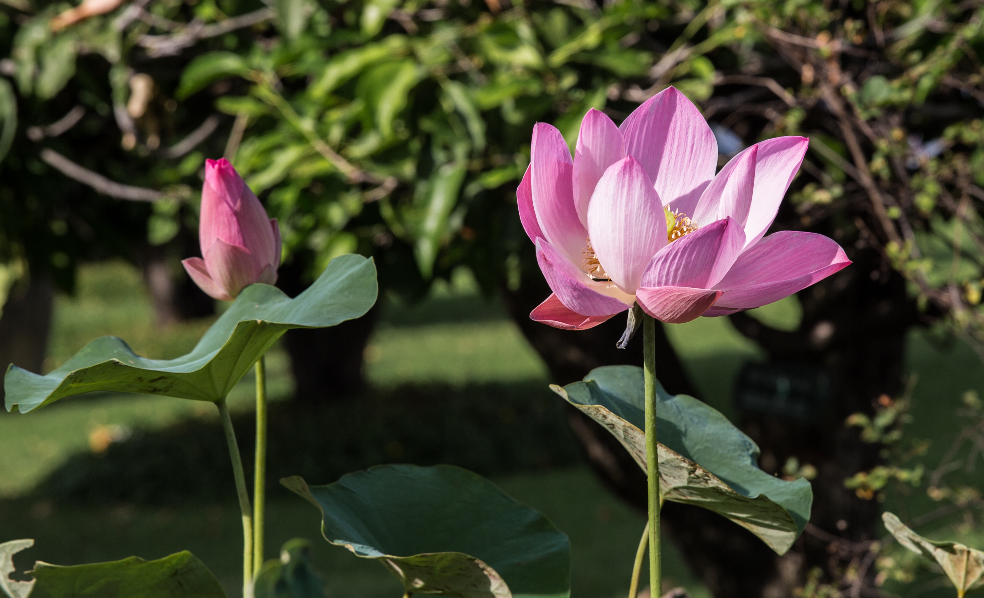 File4y1a0977 Lotus Flower 32647265113g Wikimedia Commons