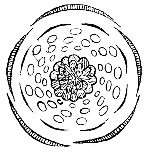 Fileadonis Autumnalis Flowerdiagram