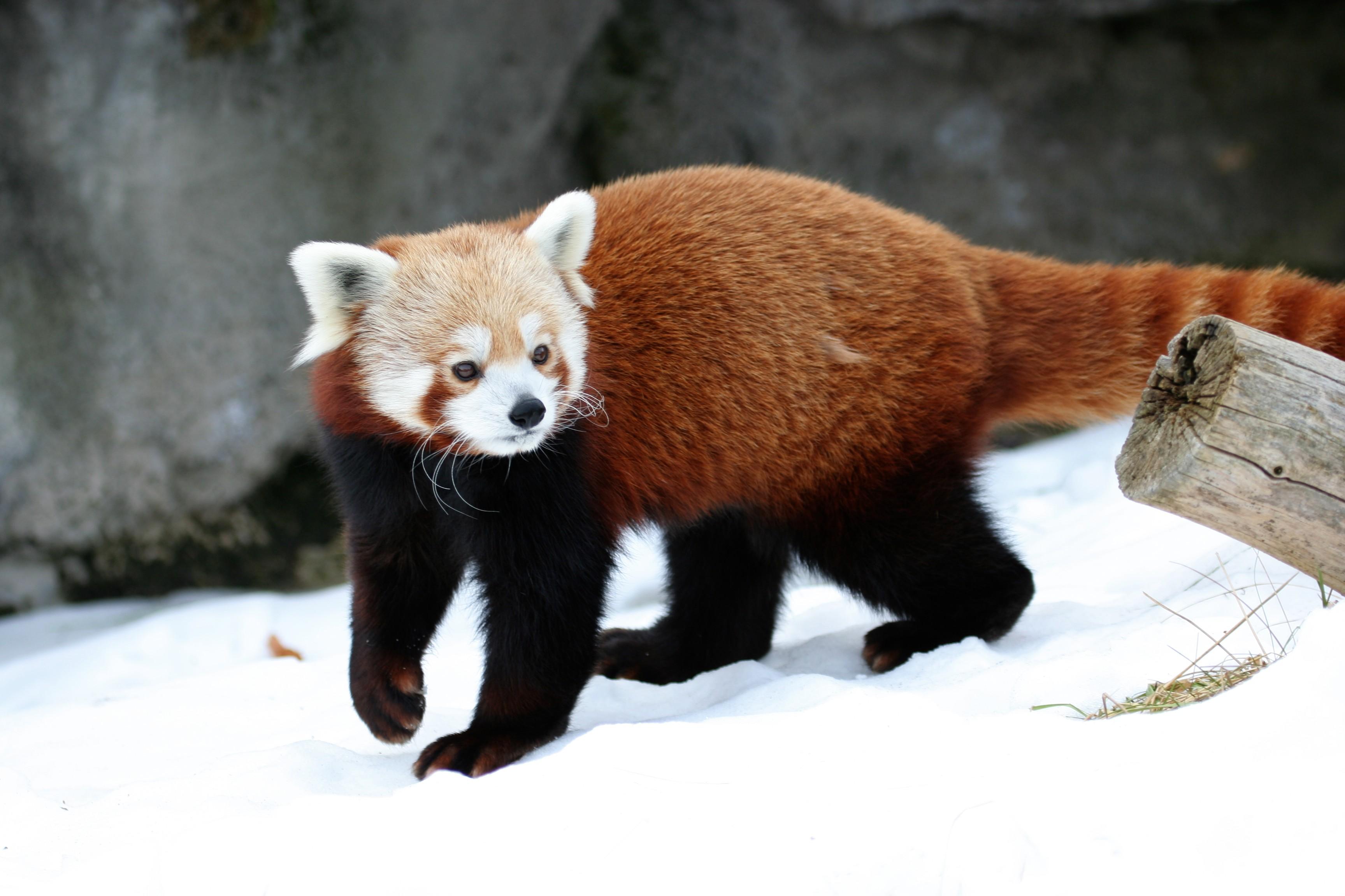 Ailurus_fulgens_-_Syracuse_Zoo.jpg