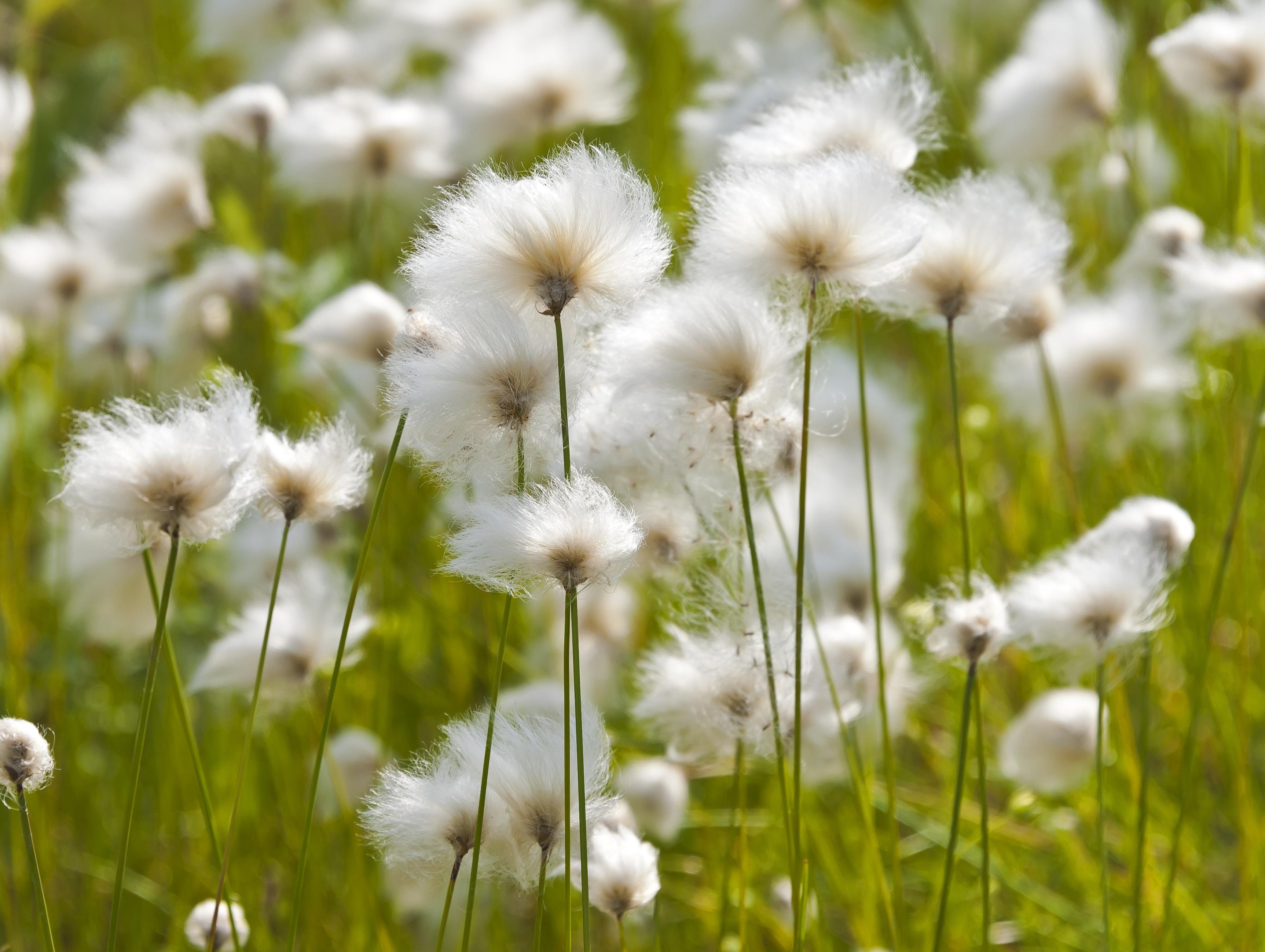 File:Arctic cottongras...