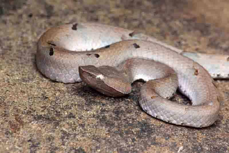Resultado de imagem para Sri Lankan hump-nosed viper