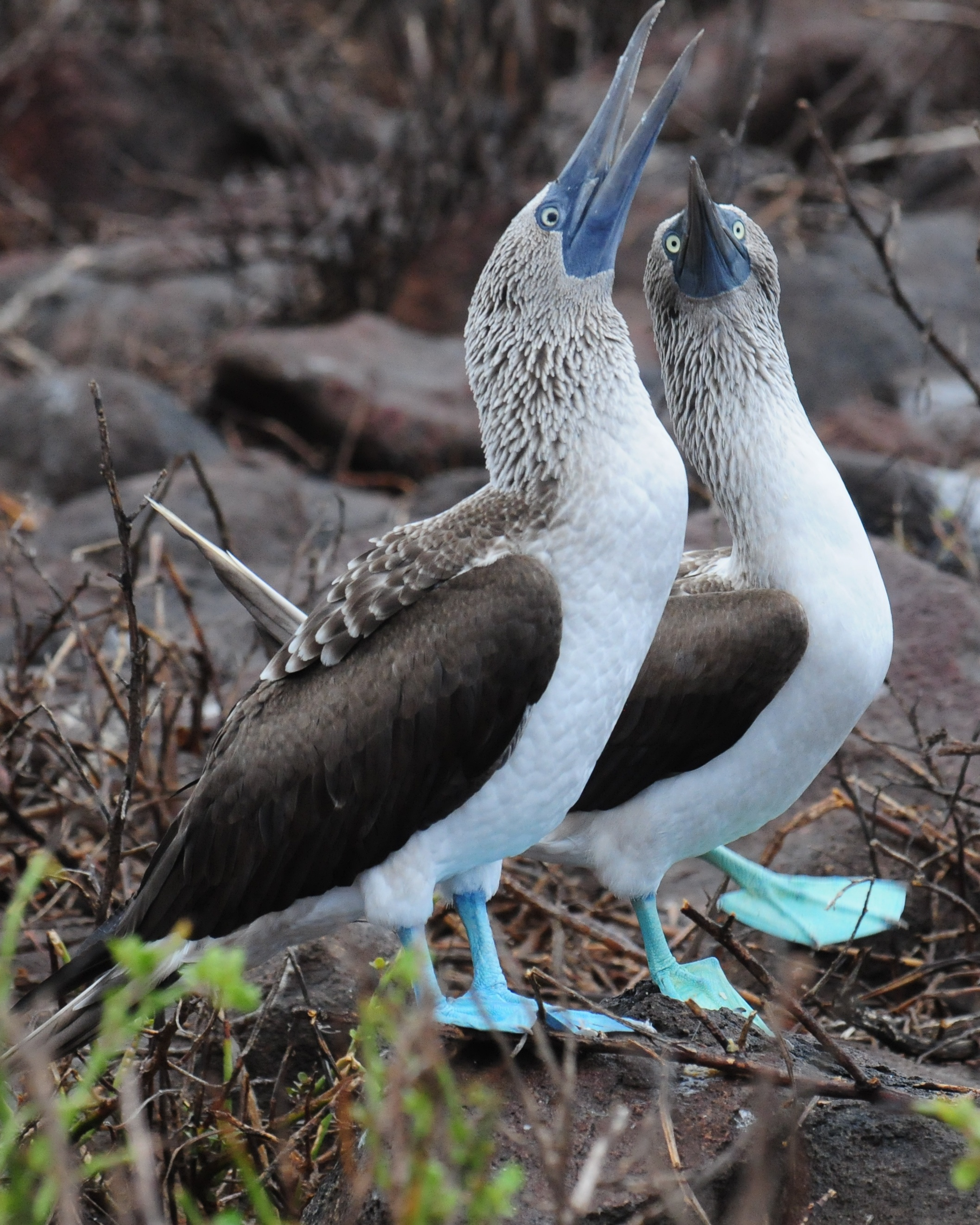 File:Blue-footed Booby (4885192492).jpg - photo#27