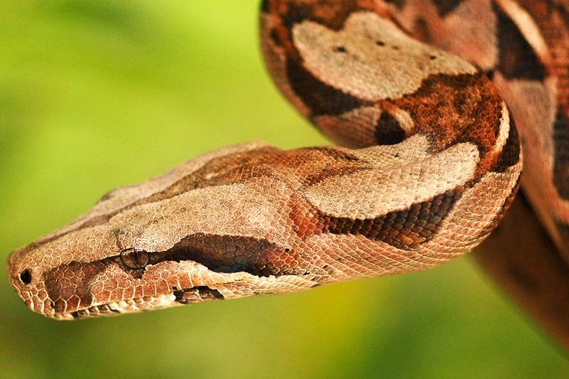Boa constrictor closeup