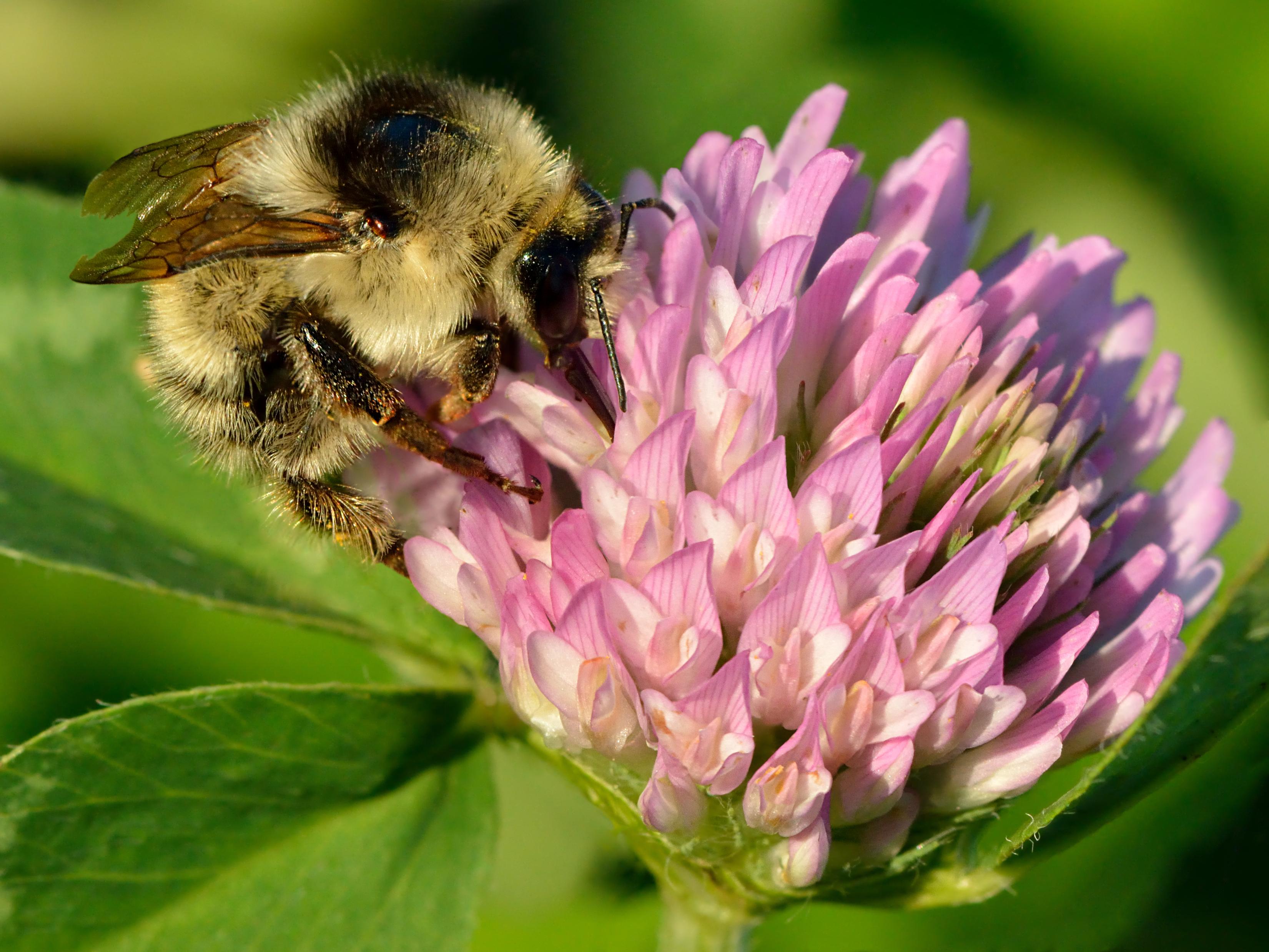 File:Bombus veteranus - Trifolium pratense - Keila.jpg