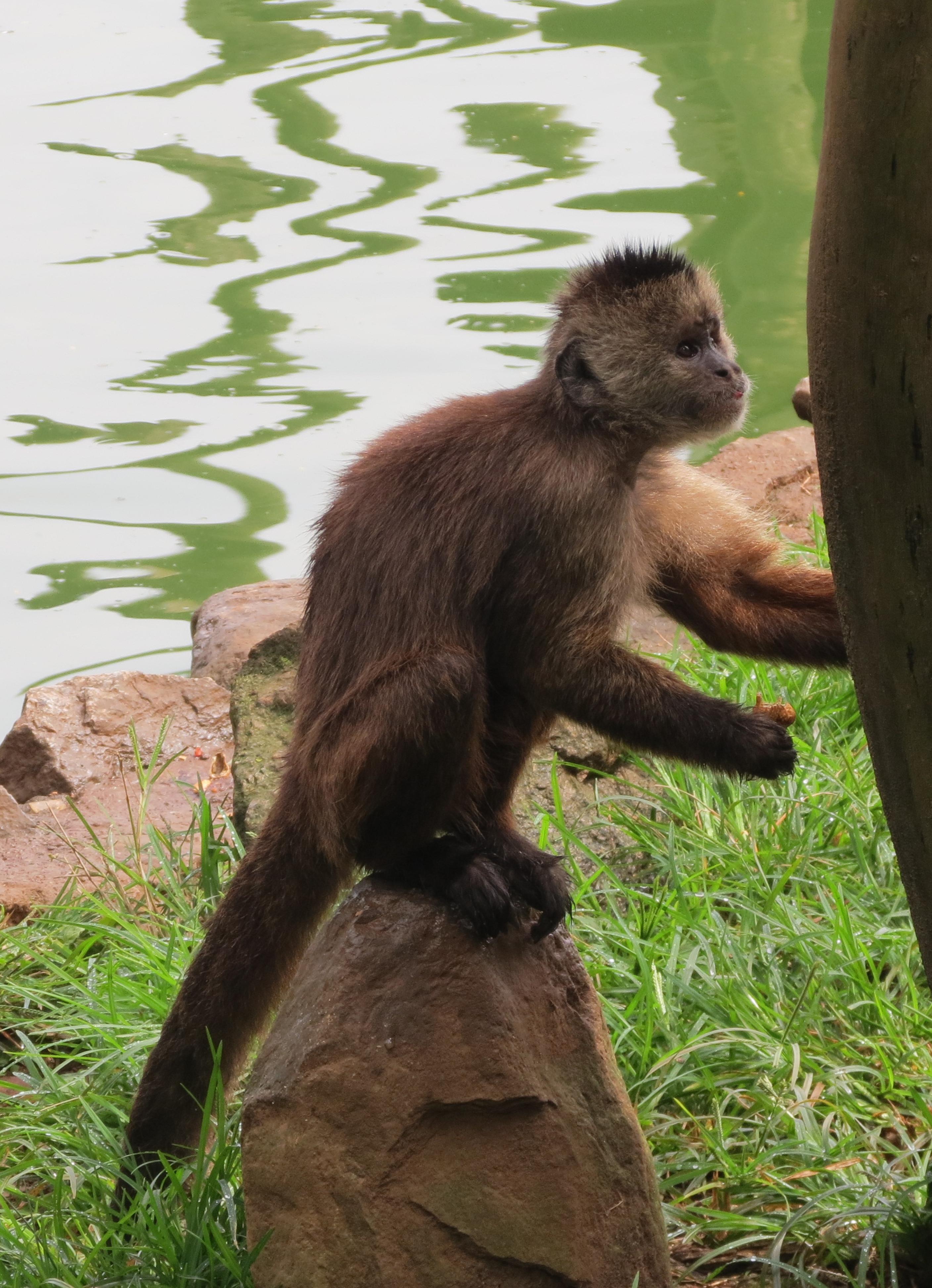[Image: C._olivaceus_Zoo_SP_2.jpg]